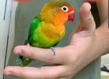 طيور حب فشر