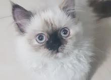 قطه هملايا للبيع بداعي السفر