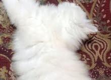 قطه شيرازي من ام شيرازي واب هملايا اورنج 5 اشهر