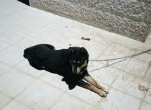 كلب بندوق رت على جيرمن لعوب ومطيع