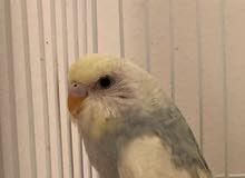 ذكر البادجي ( طير الحب )