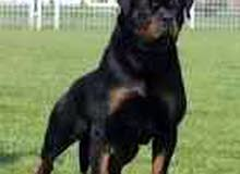 كلب روت ويلر للبيع باورقه للتوصل معي رقم هوا 01289561102