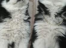 كلاب هسكي مستوى عالي للبيع للاستفسار 0798375850