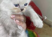 قط و قطة بيكي فيس