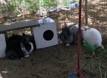ارانب هولندي للبيع Rabbit for sale