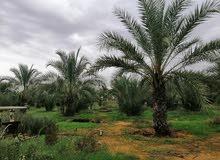 مزرعة في بن شعيب جنوب الزاوية