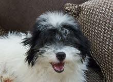 كلب لولو جيفرون (فرنسي)