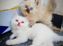قطط للبيع شيرازي و هملايا عمر شهرين
