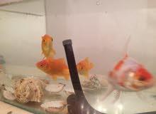 حوض اسماك + 4 أسماك + أكسجين + أكل