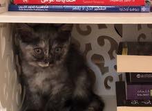 قطة نص شيرازي
