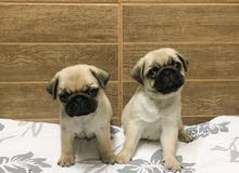 Available in Bahrain Pug Puppies