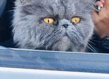 للبيع قطوس فصيلة شيرازي متربيه فالحوش