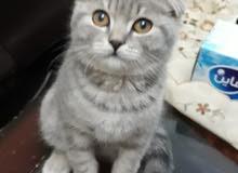قط سكوتش فولد ( ذكر ) صغير