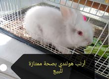 أرنب هولندي للبيع