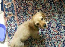 كلبه كوكر 3 شهور