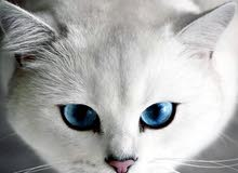 مطلوب قطه بسعر خمسه وتلاثين اربعين صغيره