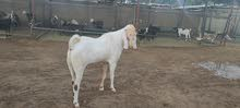 sheep / goats for sale wholesale price