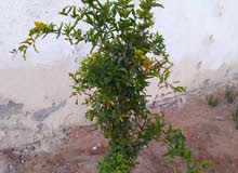 شجرة مانجو وشجرة رمان يمني