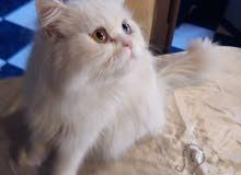 قطة بنت شيرازي بيور