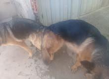 كلب برجي