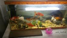 سمك زينه للبيع مع الحوض 25سمكه الحوض 80×20 مع فلتر واناره