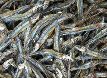 أسماك مجففه مجفف سمك قاشع