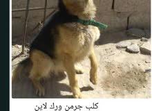 كلاب للبيع مدربه اوامر طاعه وحراسه