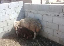 نعجه رباعية مع ابنها لحم وحليب بالصلاة على النبي