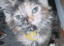 قطة مجنسة فارسية وشرازي