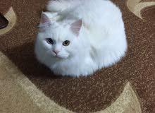 قط فارسي شيرازي ابيض جميل للبيع