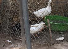 ثلاث بشوش للبيع بسعر أربعون الف الآثنان البيض ذكور والسوداء أنثى بياضة