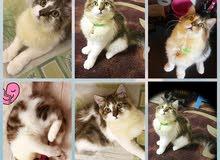 قطه شيرازي فاخره ونظيفه جدا للبيع
