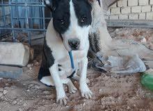 كلبه بيت بول عمرها 4 اشهر
