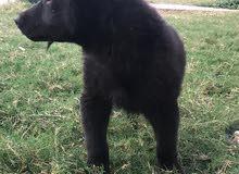 للبيع كلاب جرو نوع بلاك جاك بسعر مناسب