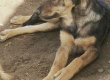 كلبه انسرقت من حي عسفان عمرها 9او8اشهر