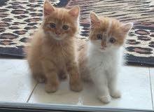 عدد 2 قطه شيرازى ولد وبنت اخوات