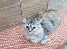 قطه فارسيه انثي العمر سنه بصحه ممتازه