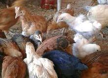 دجاج مزرعة سعر جيد الوزن خمسة كيلو