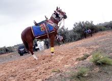 حصان ثلاث ارباع (اشقر)