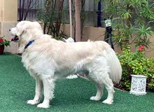English Cream Golden Retriever for mating only