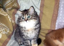 قطط جميلة نوع كولدن سكوتيش  Golden Scottish Strait .