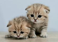 8000dhs each fixed scottish fold with pedigree