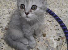 قط شيرازي العمر50 يوم