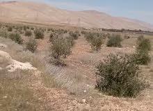 ارض زيتون في مزارع مدينةالقطيفة