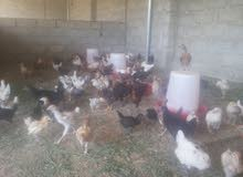 دجاج محلي بعمر شهر واسبوعين