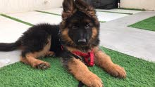 King Size German Shepard Puppy Available