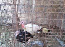 بيع دجاج رومي