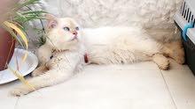 قط هملايا مع قطة تركية