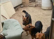 للبيع كلب جيرمن شيبرد بيور الكبار الام والاب مش للبيع