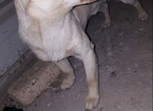 كلب للبيع ومدرب وحنين  بحاله جيده   وسعره 125الف